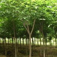 供应12cm重阳木 (全年供应各种规格 )  13962585599