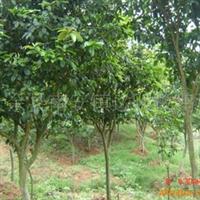 大量供应绿化苗木四季桂5-6公分(501)
