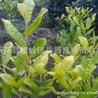 厂家直销纯正新品种黄金桂茶叶苗