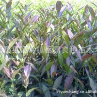 现货供应优质纯正新品种紫牡丹茶苗
