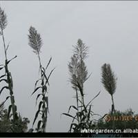 批发供应水体绿化植物水生芦苇
