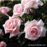 藤本攀援花卉�N子爬藤月季�N子粉色爬藤月季花�N子