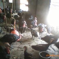 订购大量火鸡苗,火鸡鸡苗,商品火鸡苗,七日龄火鸡苗