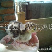 供应火鸡鸡苗,火鸡苗,吐绶鸡,七面鸟,火鸡养殖技术