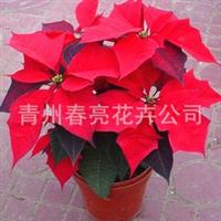 优质盆花一品红,天鹅绒,基地直供,量大从优,13964763525