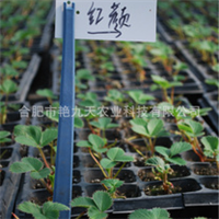 长期供应优质脱毒草莓苗 红颜草莓苗 穴盘草莓苗