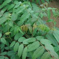 供应香椿苗 泰山红香椿 红油香椿香椿种子