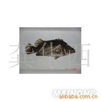 零风险保质量 供应桂鱼桂花鱼(0.8-1.5斤)