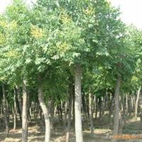 供应 绿化用 栾树 3-12cm胸径