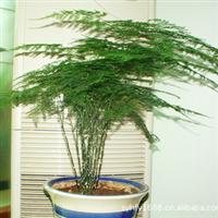 批发供应优质文竹苗 室内观叶植物 竹类植物 四季常青盆栽花卉