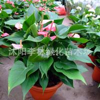 高档室内盆栽花卉 红掌 粉掌 可水培绿植 净化空气植物