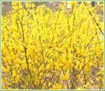 供应连翘,迎春,爬山虎,常春藤,凌霄,紫藤等苗木