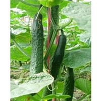 供应优新黄瓜品种 麦好特 优质种苗 嫁接苗 秒批 欢迎提前