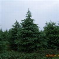 山东威海绿艺园林苗圃供应4米高雪松,数量5000棵