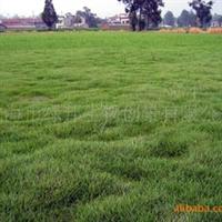 【批量供应】草坪草种白三叶、红三叶