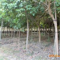 重阳木又叫秋风(米径5-40公分)