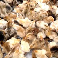 皖南土鸡苗成活率高,饲料转化率高