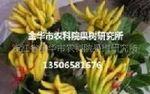 供佛手苗--佛手盆景-金华市农科院果树研究所-13506581676