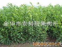 供应日南1号等柑橘苗-特早熟柑桔苗