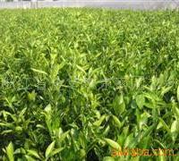 供应柑橘苗-大分-特早熟