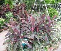 朱蕉 千年木 会场常用摆设植物 室内观赏植物