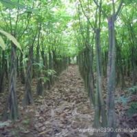 园林绿化工程大树苗木—发财树,价格面议,包上车