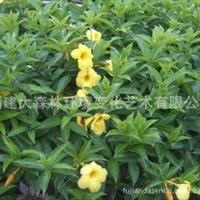 福建大森林出售漳州 软枝黄蝉  袋苗大量供应(专业配送)