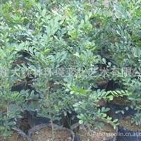 福建大森林出售漳州   九里香  袋苗大量供应(专业配送)