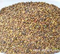 红豆杉种子/红豆杉小苗/较新红豆杉小苗价格
