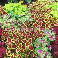 供应特价苏北沭阳绿化苗木,草花类【彩叶草】(图)