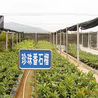 大量供应珍珠番石榴苗 南方品种果树苗木果苗种苗 果苗场