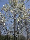 白玉兰树成活率高白玉兰树容易成活南京白玉兰基地供应报价