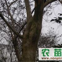 紫薇 红叶李 大叶女贞 香樟 椤木石楠