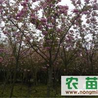 1-10cm樱花、石楠、红叶石楠、枇杷、紫薇、金桂、红叶李