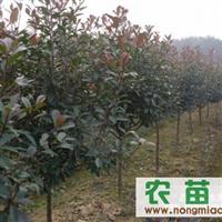 安徽红叶石楠 紫薇 金桂    香樟