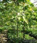 马褂木价格  行道树马褂木的绿化苗木 马褂木基地