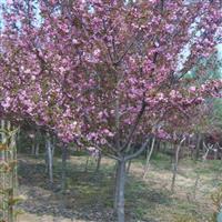 10公分樱花