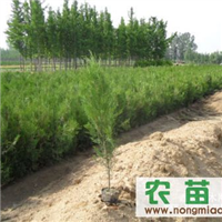 营养袋樟子松,油松,侧柏