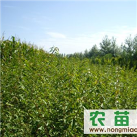 供应三角枫、朴树、榉树小苗