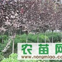 肥西县三岗刘湾苗圃红叶李、红绿梅、枇杷、高杆女贞