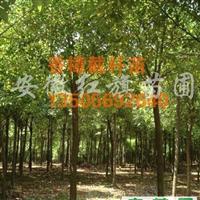 供应高杆女贞、香樟、重阳木、朴树、三角枫、紫叶李等