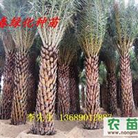 供应中东海枣苗 中东海枣3-4米