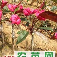 北美海棠芽苗2012年价格