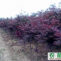 供应;红枫苗、红枫种子、青枫、青枫种子