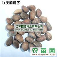 长期提供销售绿化花卉种子--白皮松种子