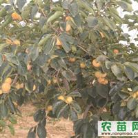 出售成品柿子树苗、优质柿子树、柿苗、柿树苗