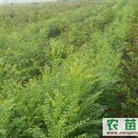 北京龙景苗圃售玉兰,银杏,石榴,青竹