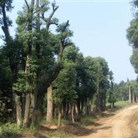 湖北香樟树
