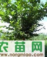 出售长枝榆,樟子松,大小叶白蜡,白榆,新疆杨等