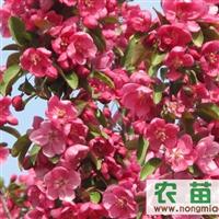 供应红肉海棠|红叶|垂丝|钻石|红宝石海棠苗